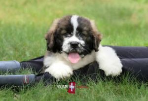 Saint Berdoodle puppies  (Saint Bernard/poodle) non shedding
