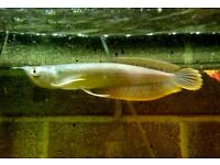 "2 Arowana fish 4.5"" / 5"" long beautiful"