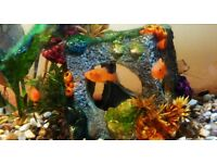 Beautiful little platy fish for sale, cold water, easy to look after , suitable for beginner.