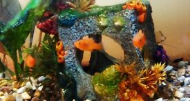 Beautiful little Platy fish for sale, easy to look after, suitable for beginner or enhance aquarium