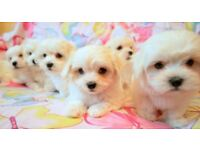 ***SMALL TYPE MALTESE*** for sale