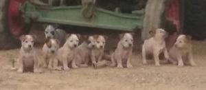 Red heeler Cattle Dog Pups Dublin Mallala Area Preview