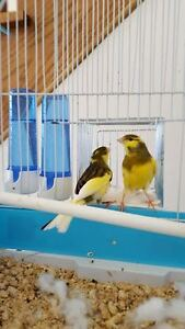 Pair of healthy canaries
