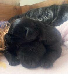Beautiful Yorkipoo rare F1B Generation puppies