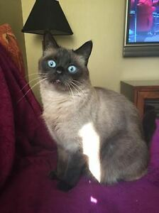 LOST! Seal point siamese cat ! Glenora! Offering a REWARD