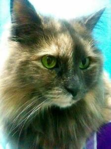 Beautiful long-haired 9-year-old female cat