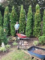 ALL TREES!!! Cedars - Spruces - Maples - Ornamentals - Hedging