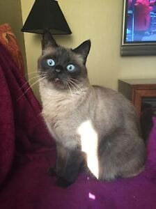 Lost ! 9 years old Seal Point Siamese. REWARD