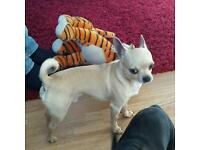 Quality chihuahua cream fawn boy for sale