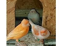 A beautiful pair of red mosaic canary for sale
