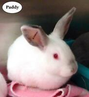 "Young Male Rabbit - Bunny Rabbit: ""Paddy"""