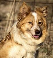 "Adult Female Dog - Border Collie: ""Eden"""