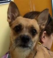 Adult Female  - Chihuahua-Jack Russell Terrier