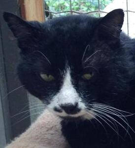 "Adult Male Cat - Tuxedo: ""Royal"""