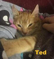 "Baby Male Cat - Domestic Short Hair: ""Ted - Shy Boy"""