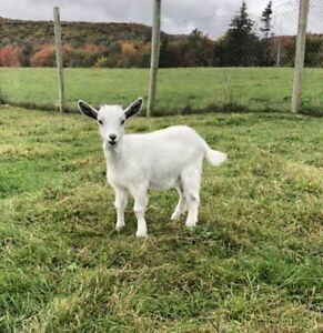 3 Baby Goats for Sale!