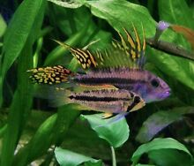 Wanted: Apistogramma Ascot Park Marion Area Preview