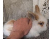 Lionhead rabbit for sale!!!