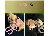Lhasa apso x Maltese Pups (available now)