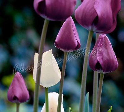 Purple & White Mixed Tulip Spring Flowering Gardening Bulb Corm Perennial Plant