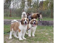St Bernard puppy's