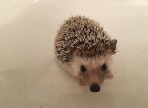 1 year old Hedgehog for rehoming!