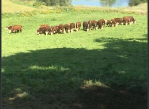 Registered Hereford Breeder Downsizing