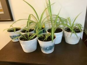 Indoor plants with pots: Spider, snake, aloe, lemon and geranium