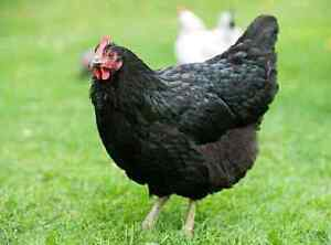 BLACK AUSTRALORP CHICKENS (YOUNG PULLETS FOR EGGS) 15 WEEKS OLD Northcote Darebin Area Preview
