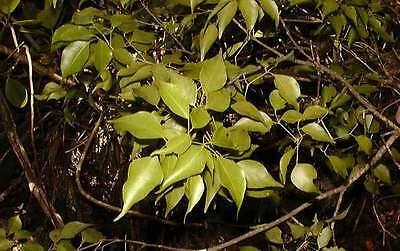 Aceite Esencial Amyris - Sándalo Haití Puro Y Natural 100ML