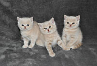 British shorthair cream kittens