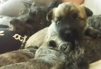 "Cairn Terrier Puppies looking for ""forever homes"""