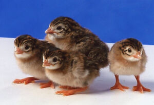 Week old guinea keets for sale