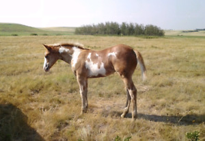 2018 Registered Paint Filly
