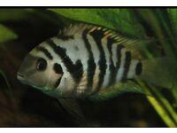 3 convict cichlids fish