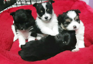Adorable pomeranian X pups **Ready AFTER the holiday rush**