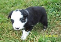 AUSTRALIAN SHEPHERD PUPPY-ON HOLD
