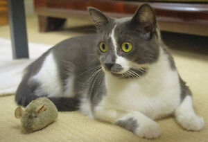 2-year-old Rescued Female Cat Needs Fur-Ever Home! London Ontario image 1