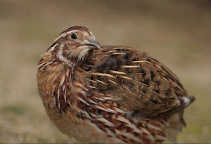 Looking for Coturnix Quail