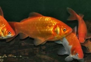 goldfish 5-8 inches great for the pond.