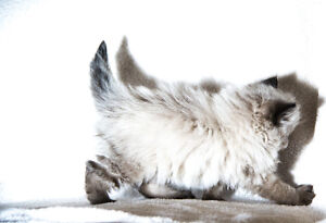 Seal Point Himalayan Kittens