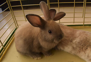 Light brown dwarf bunny