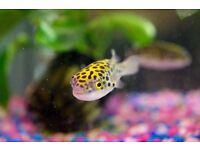1x Green Spotted Puffer Fish ��10