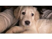 Golden retriever/labrador puppies