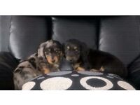 Long haired Dachshund pups
