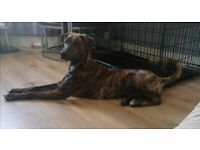 Sold! Sorry no replied to enquires as so manyGorgeous Ridgeback cross 11 month puppy for sale