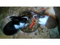 Pair of Dutch rabbits