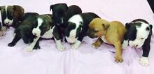 AMSTAF PUPPIES TO A GOOD HOME Kambah Tuggeranong Preview