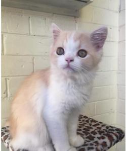 Arlo  Beautiful Persian/ragdoll kitten Doncaster Manningham Area Preview