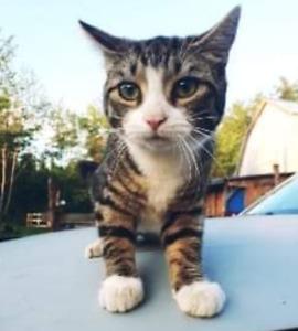 chatte britishe de 10 mois